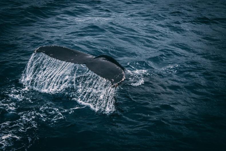 Kanał Panamski ograniczy prędkość statków, by chronić wieloryby - GospodarkaMorska.pl