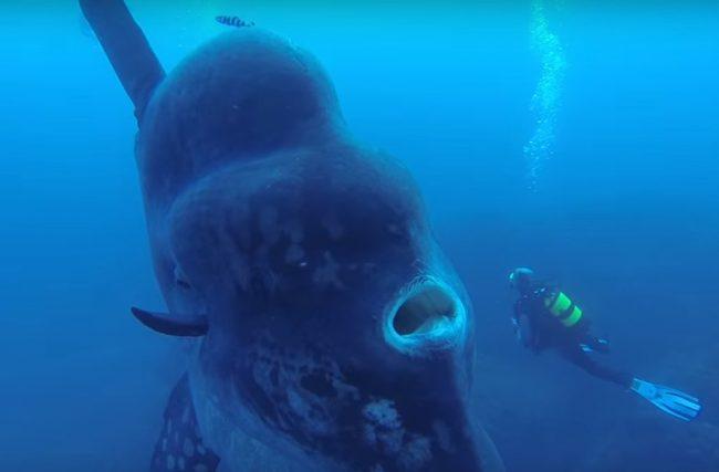 Największa ryba na świecie znaleziona u wybrzeży Portugalii [video] - GospodarkaMorska.pl