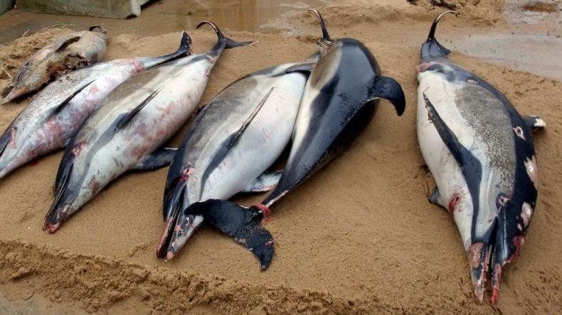 Setki martwych delfinów na francuskich plażach - GospodarkaMorska.pl
