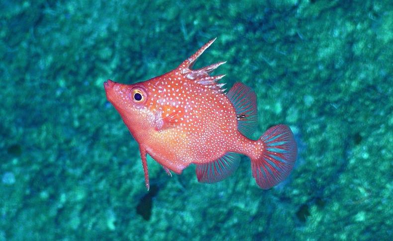 Pierwsze zdalne badanie w głębokich wodach Morza Koralowego ujawniło całkowicie nowe gatunki [foto, wideo] - GospodarkaMorska.pl