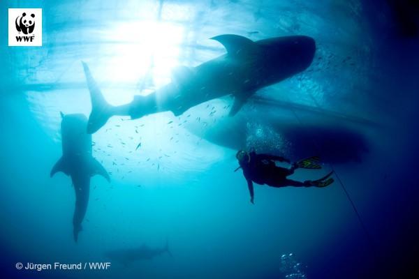 Rekiny i płaszczki - poznaj 5 sposobów, w jakie pomagają planecie, innym zwierzętom i ludziom - GospodarkaMorska.pl