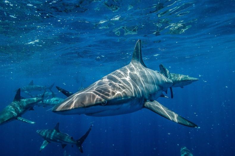 Rekiny funkcjonalnie wymarły na jednej na pięć raf koralowych [wideo] - GospodarkaMorska.pl