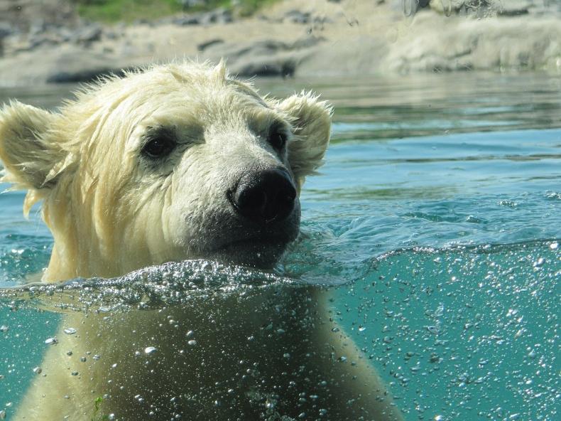 Do roku 2100 może już nie być niedźwiedzi polarnych! - GospodarkaMorska.pl