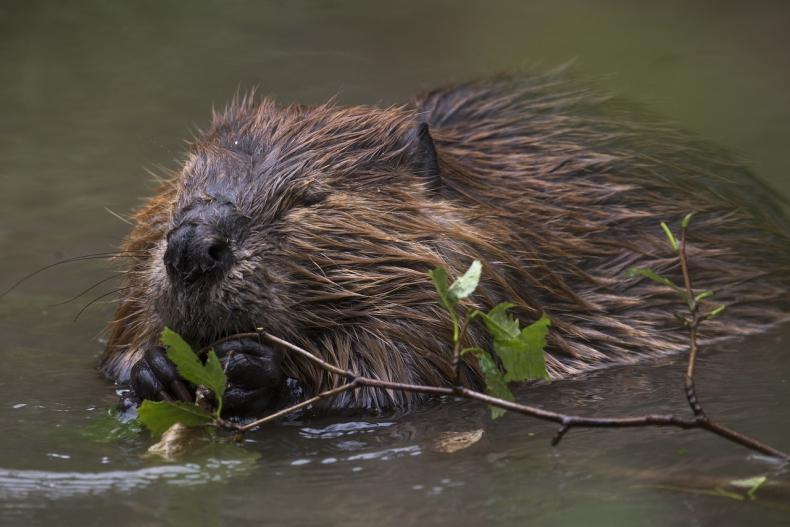 W Wielkiej Brytanii po raz pierwszy od 400 lat dziko żyjące bobry mogą pozostać w swoim środowisku - GospodarkaMorska.pl