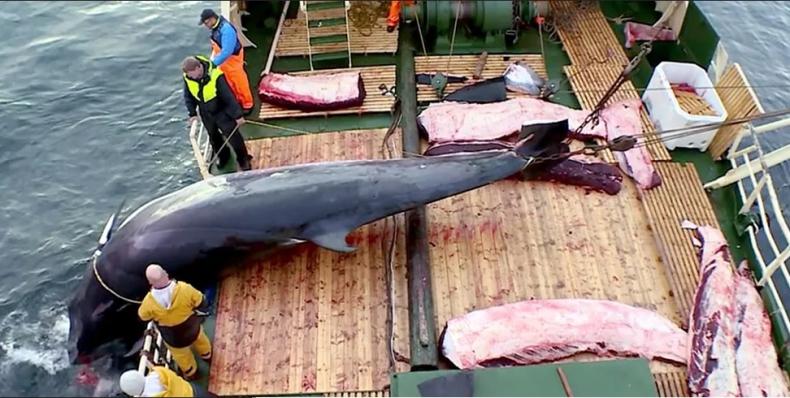 Kontrowersyjny przemysł wielorybniczy w Norwegii ma się coraz lepiej  - GospodarkaMorska.pl