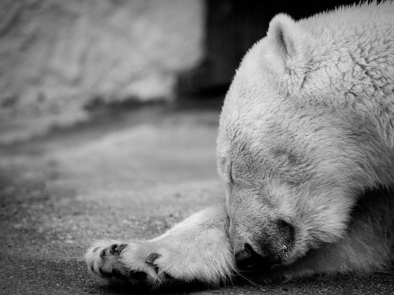 Niedźwiedź polarny zabił mężczyznę na Spitsbergenie - GospodarkaMorska.pl
