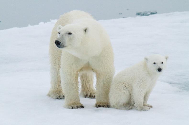 Spadek powierzchni lodu morskiego utrudnia niedźwiedziom polowania. Jak długo wytrzymają? - GospodarkaMorska.pl