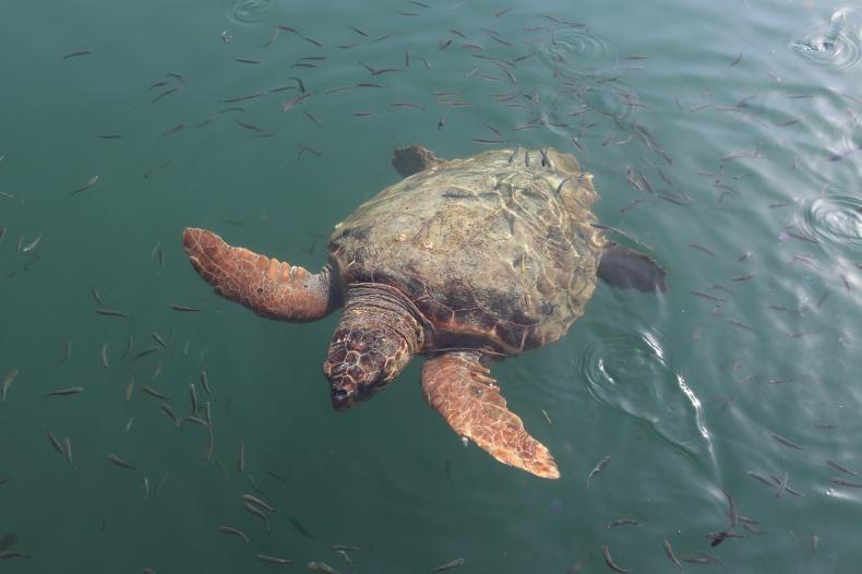 Na plaży znaleziono 351 martwych żółwi Karetta - GospodarkaMorska.pl