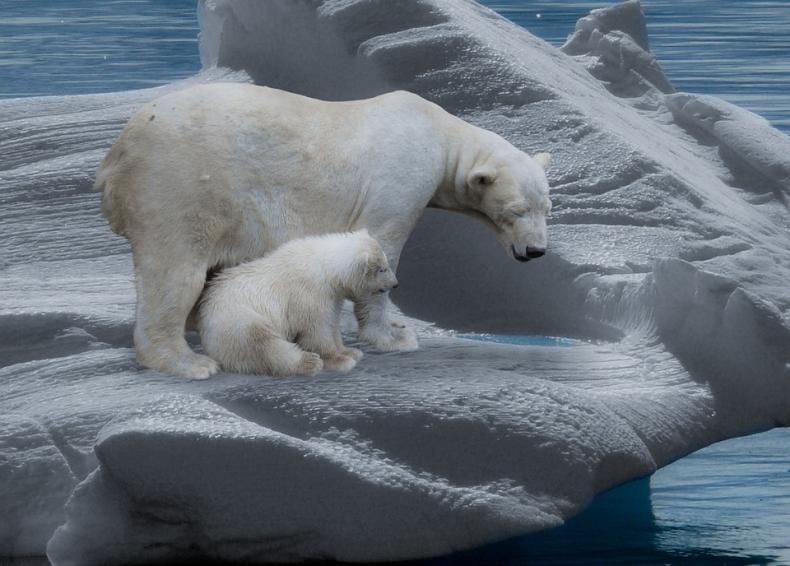 Do roku 2100 może już nie być niedźwiedzi polarnych - GospodarkaMorska.pl