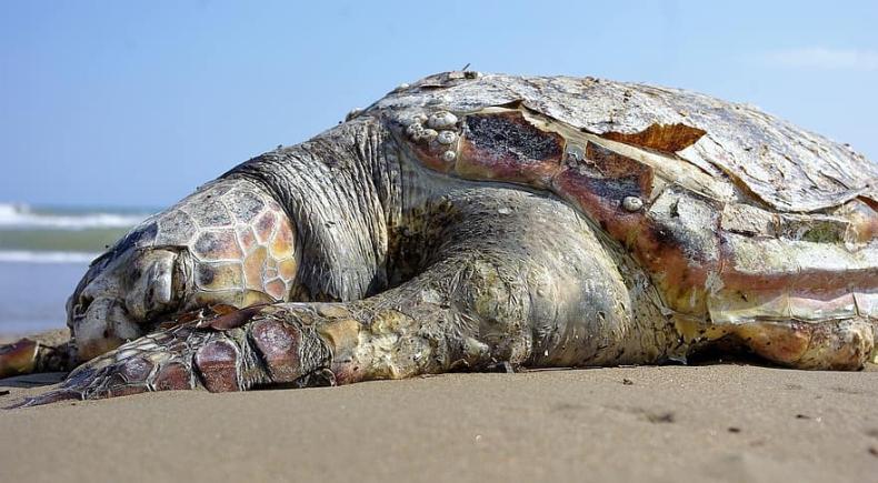 Setki martwych żółwi u wybrzeży Meksyku - GospodarkaMorska.pl