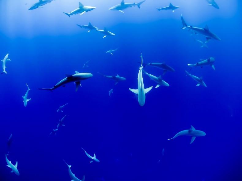 Rekiny kluczem do uratowania planety? - GospodarkaMorska.pl