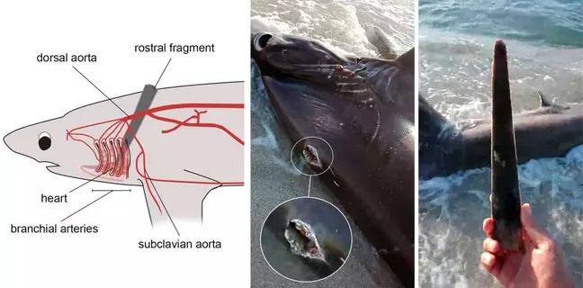 Martwy rekin z przebitym sercem wyrzucony na brzeg w Libii [wideo] - GospodarkaMorska.pl