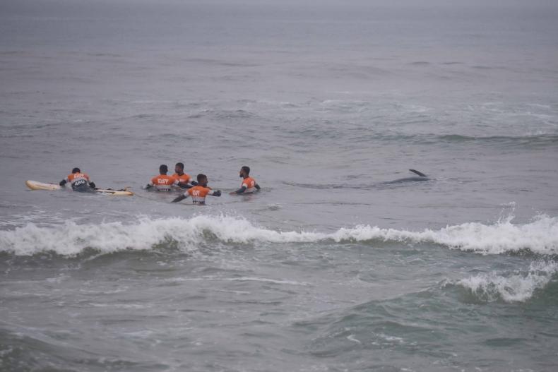Uratowano ponad 100 wielorybów, które utknęły na plaży - GospodarkaMorska.pl