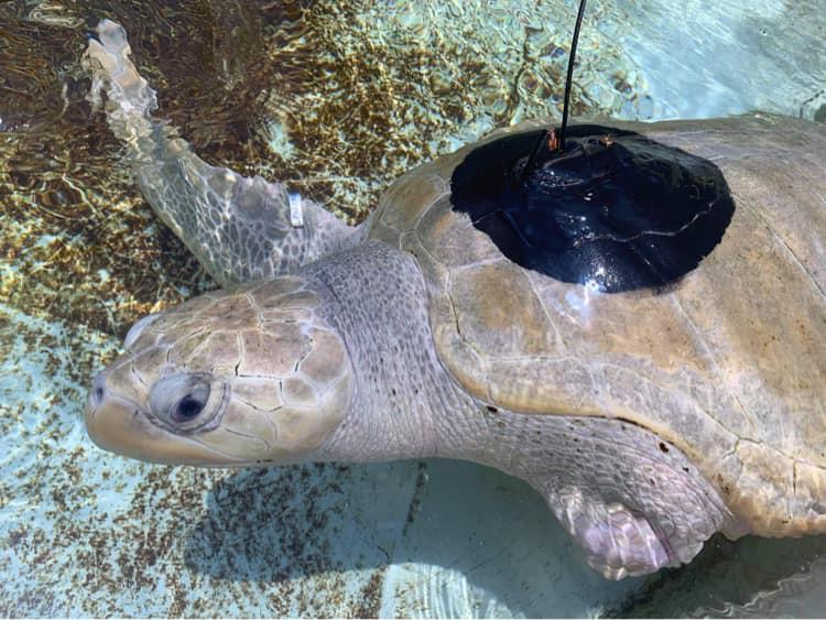 Zagrożony wyginięciem żółw morski, który stracił dwie płetwy, znowu nauczył się pływać  - GospodarkaMorska.pl