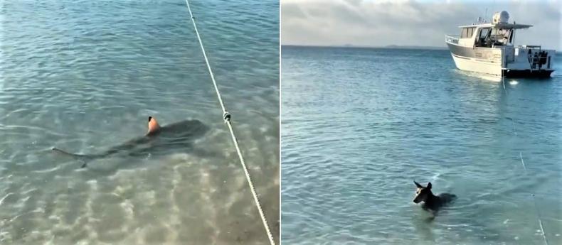 Bohaterski pies rzucił się na rekina by ochronić turystów [wideo] - GospodarkaMorska.pl