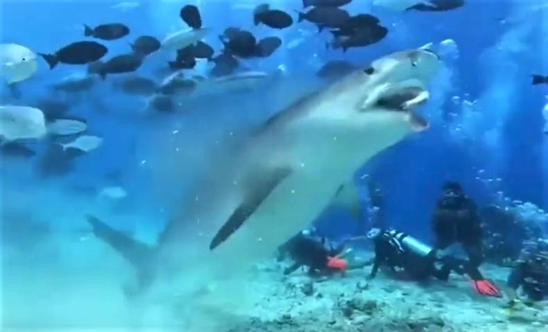 Wielki żarłacz tygrysi podniósł adrenalinę nurkom na Malediwach [wideo] - GospodarkaMorska.pl