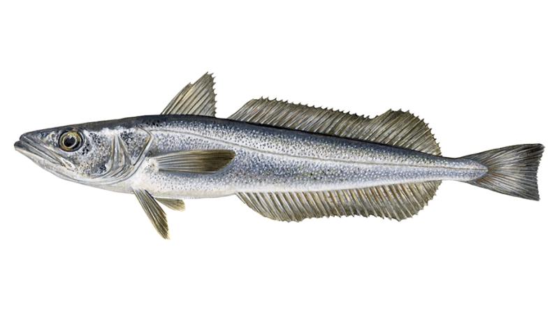 Rybołówstwo morszczuka z Namibii jako drugie w Afryce uzyskało certyfikat MSC  - GospodarkaMorska.pl