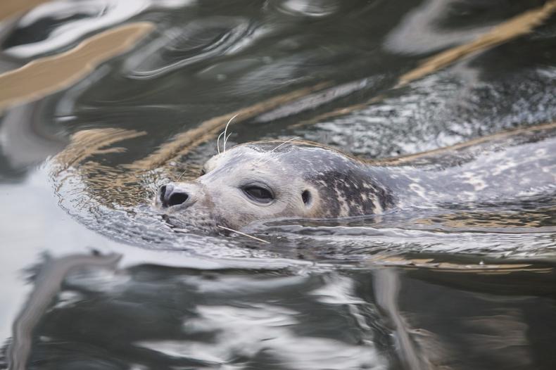 Akustyk zbadał, jak foki szare wydają pod wodą dźwięki - GospodarkaMorska.pl