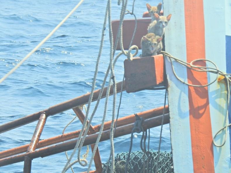 Marynarze z tajskiej marynarki wojennej uratowali 4 koty z tonącego statku - GospodarkaMorska.pl