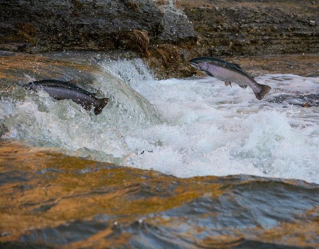 USA. W Kalifornii giną setki tysięcy łososi – rybacy biją na alarm - GospodarkaMorska.pl