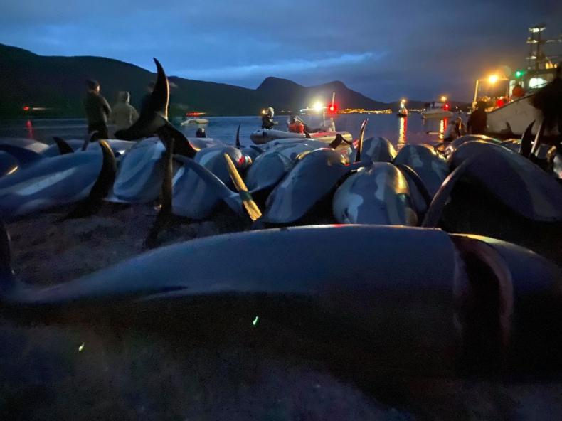 Wyspy Owcze: zabito ponad 1400 delfinów [WIDEO, ZDJĘCIA] - GospodarkaMorska.pl