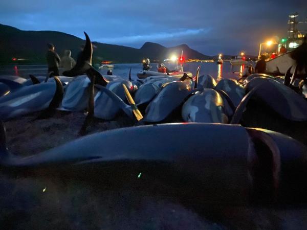 Wyspy Owcze: zabito ponad 1400 delfinów [WIDEO, ZDJĘCIA]-GospodarkaMorska.pl